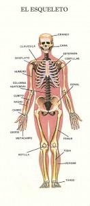 el-esqueleto